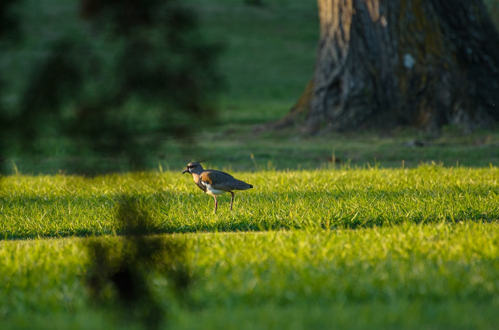 black and brown bird on green grass field during daytime