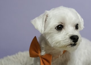 white long coated small dog with red bow tie