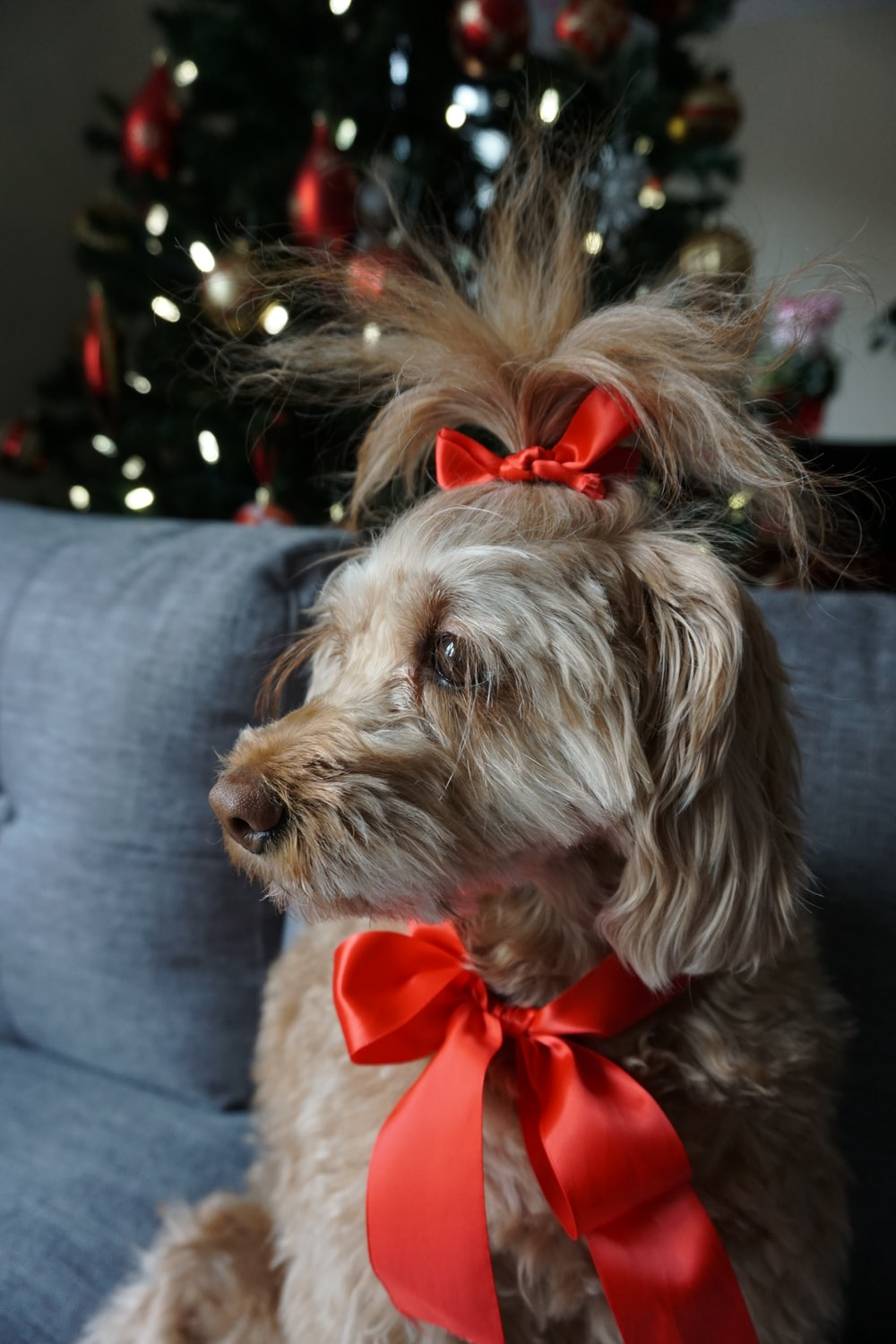 brown and white long coated small dog with red ribbon