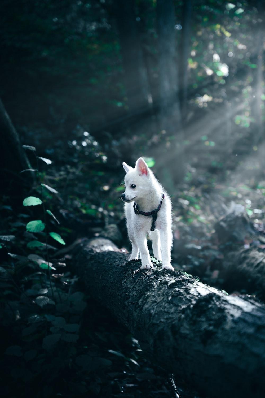 white siberian husky puppy on black rock