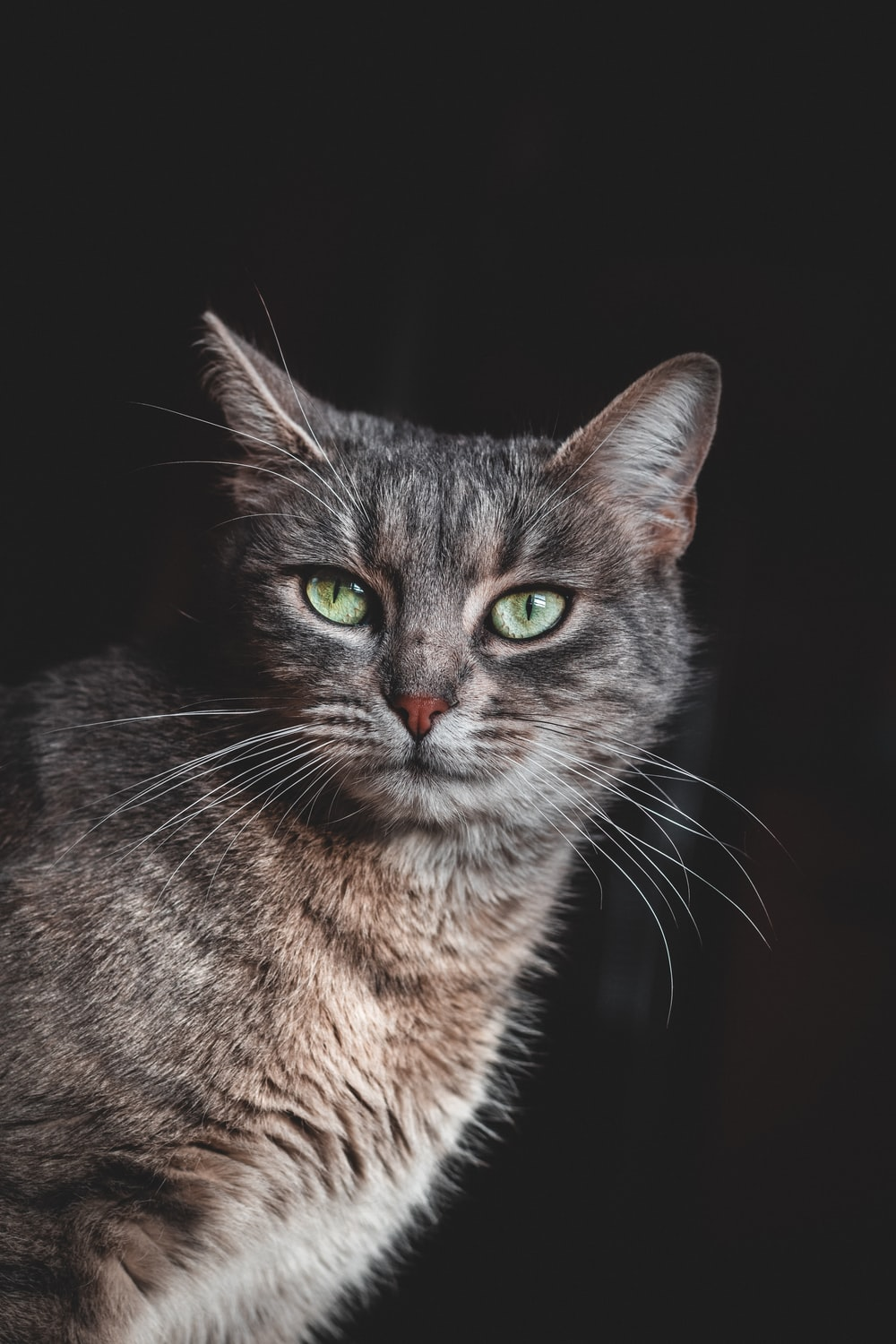 Grey Cat Pictures Download Free Images On Unsplash