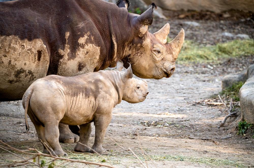 brown rhinoceros walking on brown field during daytime