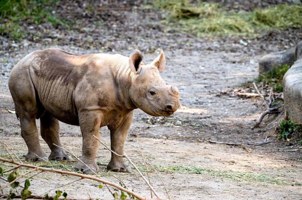 brown rhinoceros on brown soil