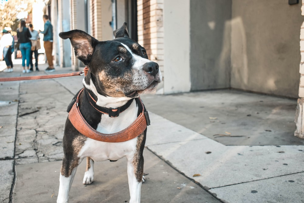 black and white short coat dog with brown leather leash