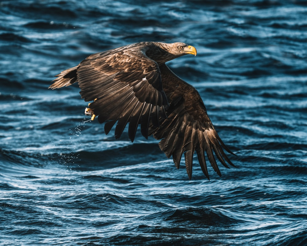 black eagle flying over the sea during daytime