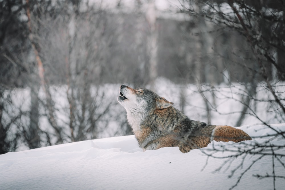 brown and white wolf on snow covered ground