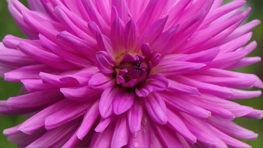 Close up photo of a bright pink flower with many petals. Photo by David White on Unsplash