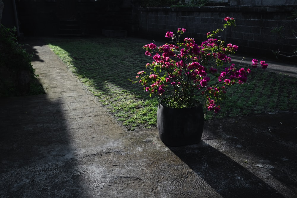pink flowers in black pot