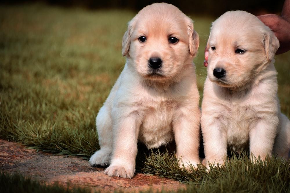 golden retriever puppy on green grass field during daytime
