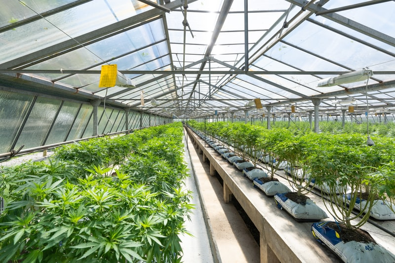 Growing-Hybrid-Cannabis