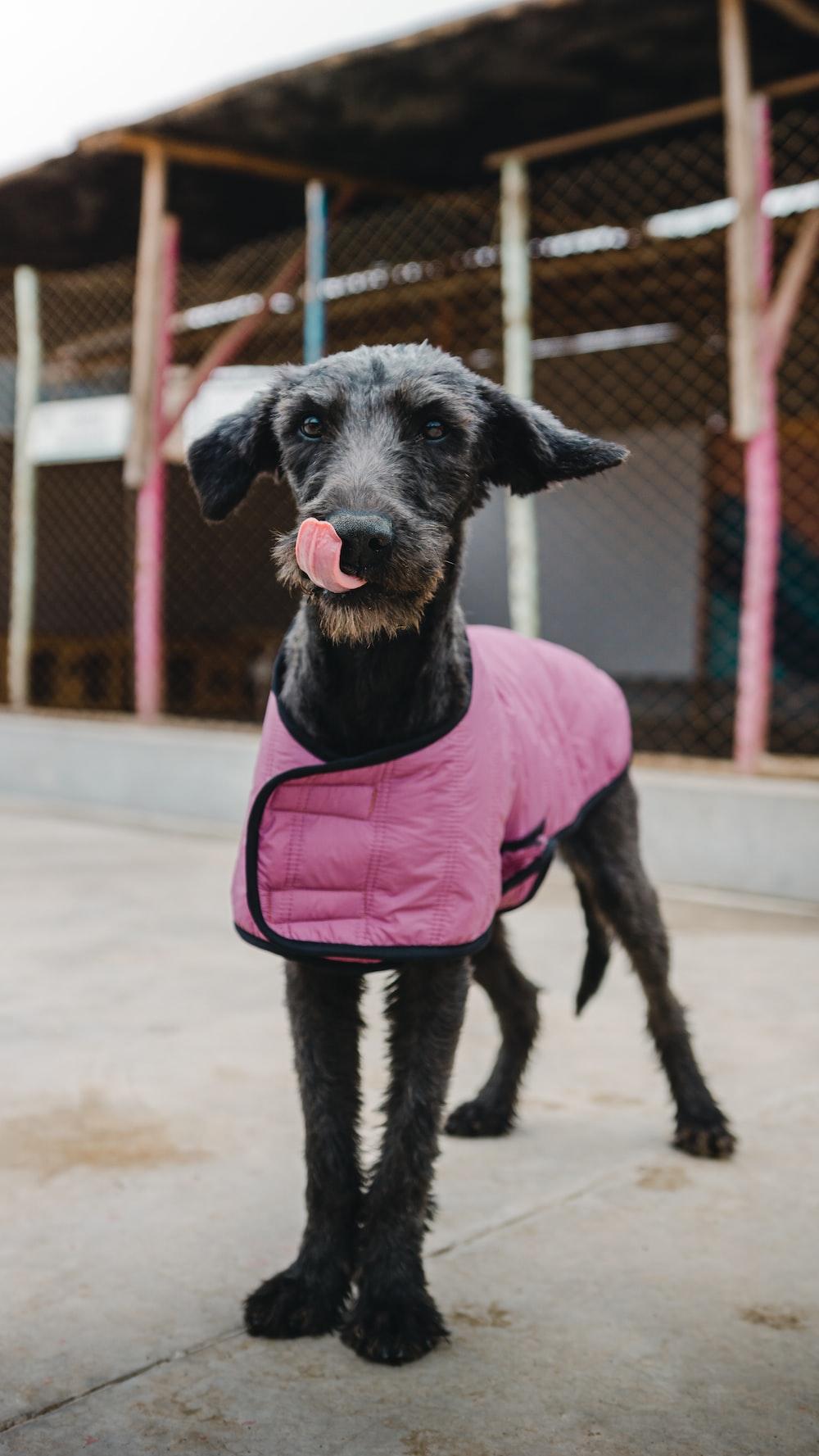 black and white short coated dog wearing pink shirt
