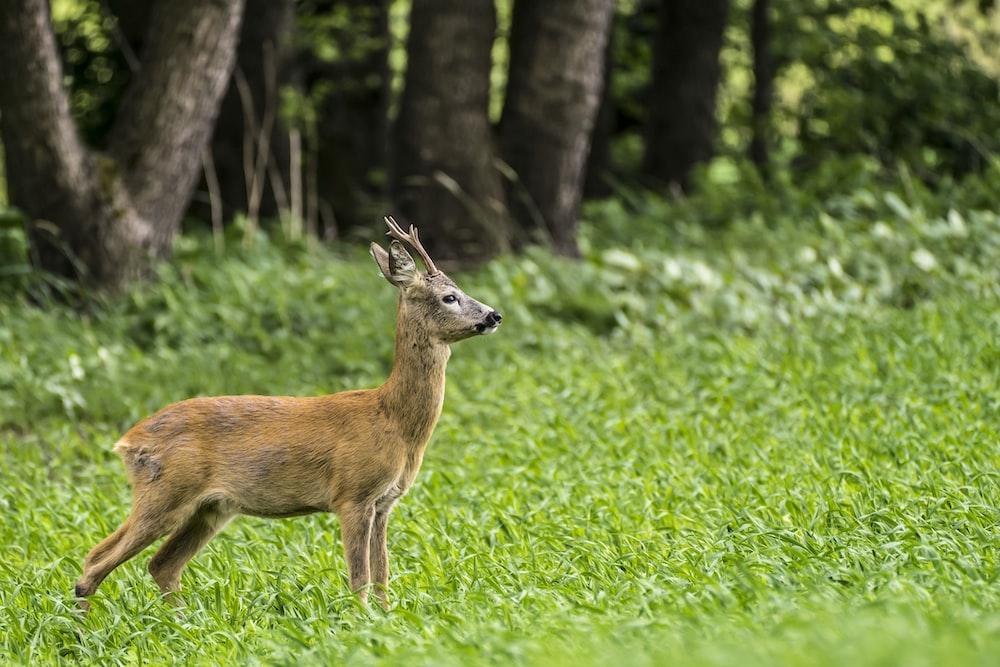 brown deer on green grass field during daytime