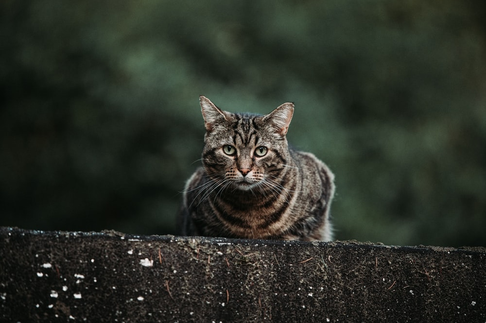 brown tabby cat lying on concrete wall