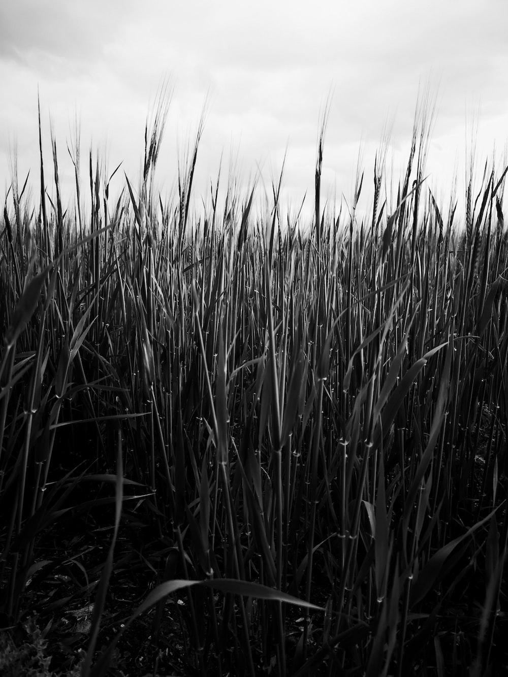 grayscale photo of grass field