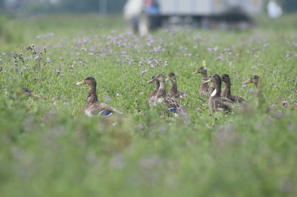 brown and black duck on green grass field during daytime