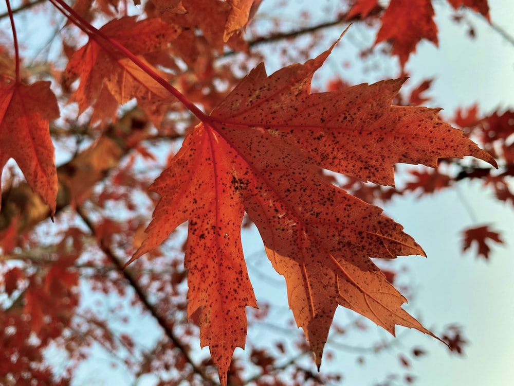 brown maple leaf in close up photography
