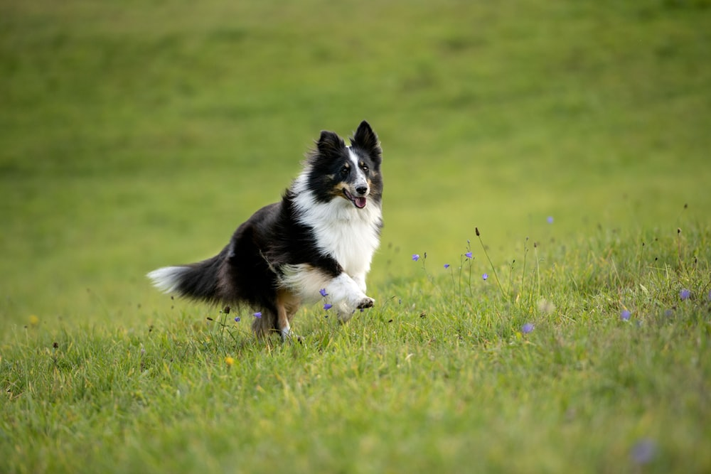 black and white border collie on green grass field during daytime