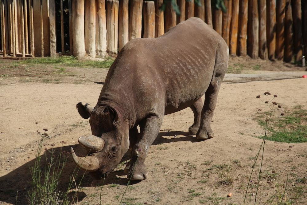 brown rhinoceros on brown field during daytime