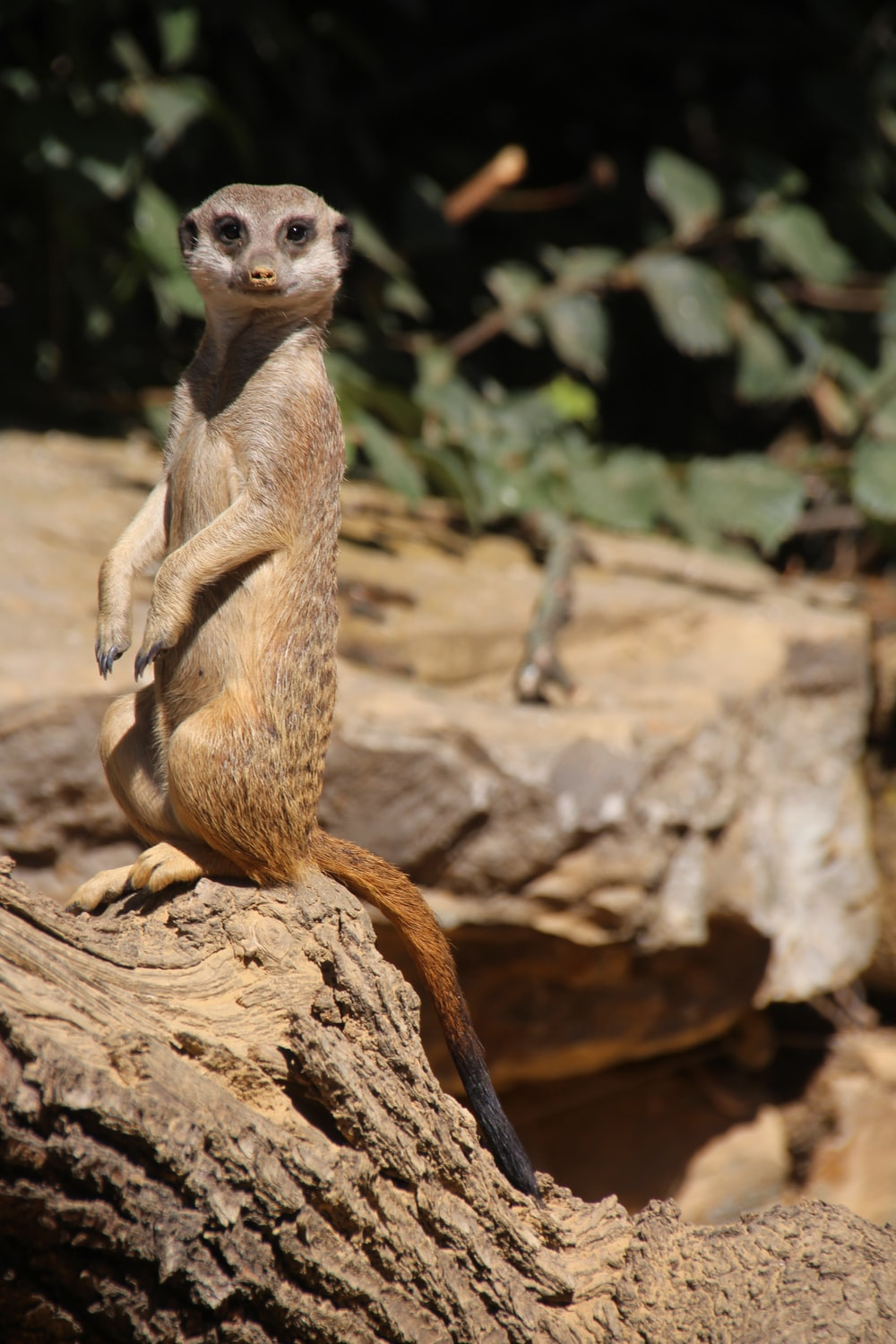 brown and white meerkat on brown rock during daytime