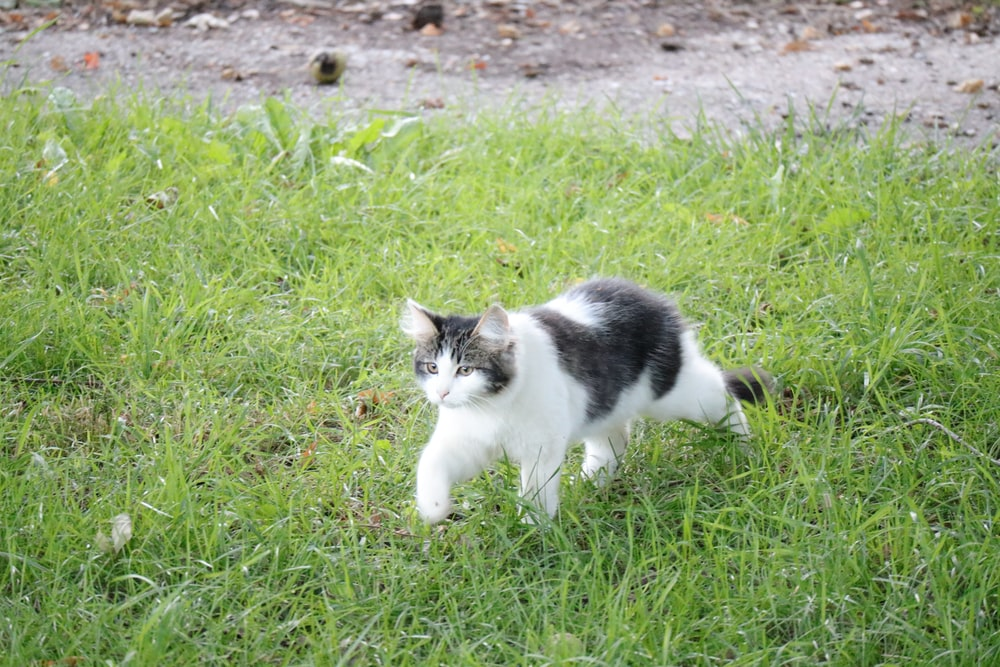 white and black cat on green grass field during daytime