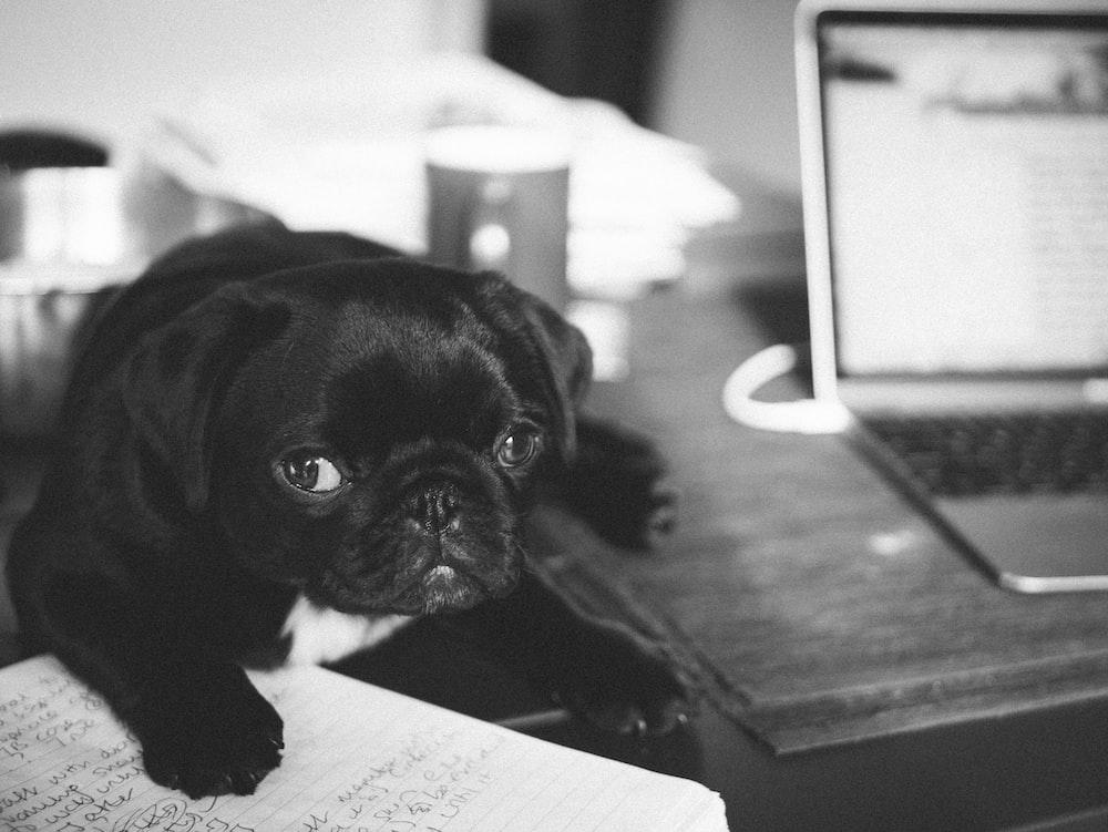 black pug puppy on white printer paper