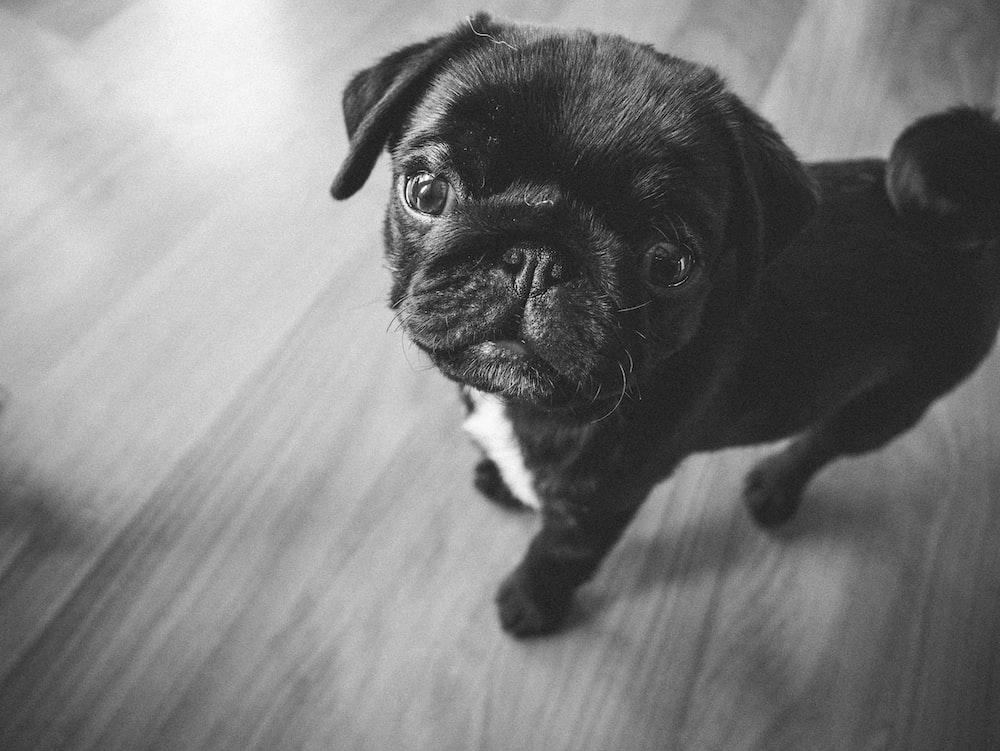 black pug puppy on brown wooden floor