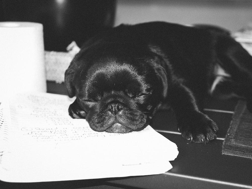 black pug puppy on white textile