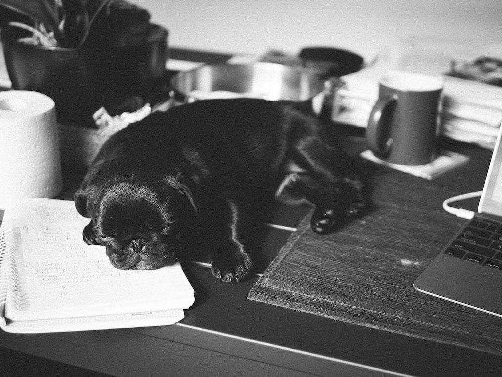 black pug puppy on table