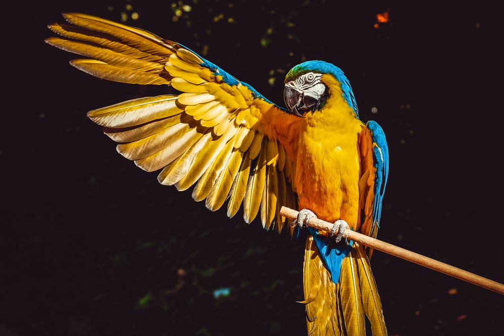 yellow blue and green parrot