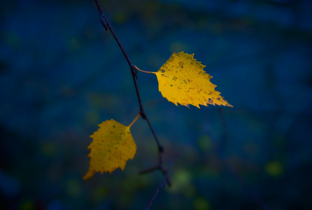 yellow maple leaf in close up photography