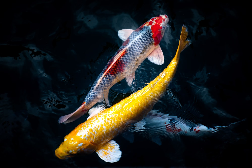 yellow and black fish in water