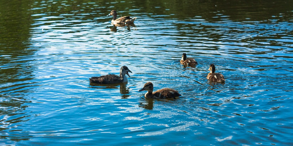 group of duck on water during daytime