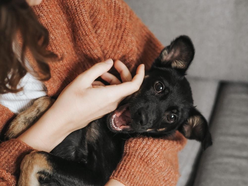 black short coat small dog