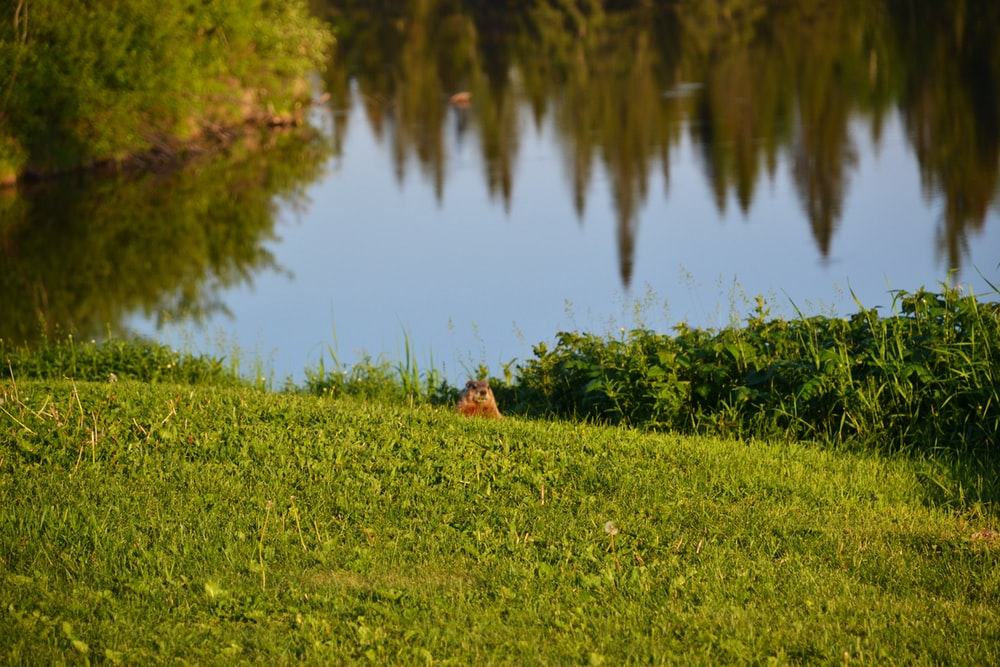 brown squirrel on green grass near lake during daytime