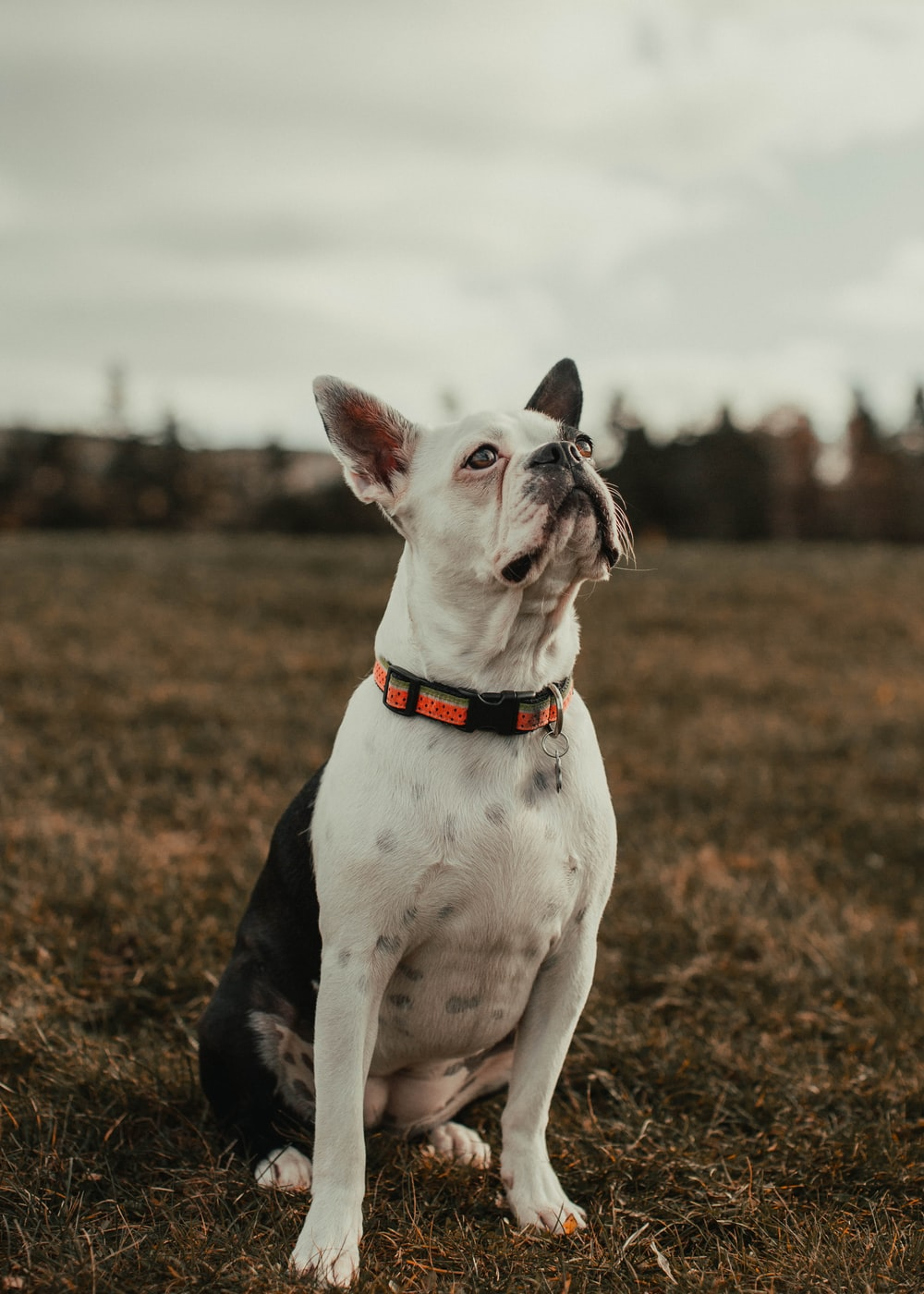 white and black short coated dog on brown field during daytime