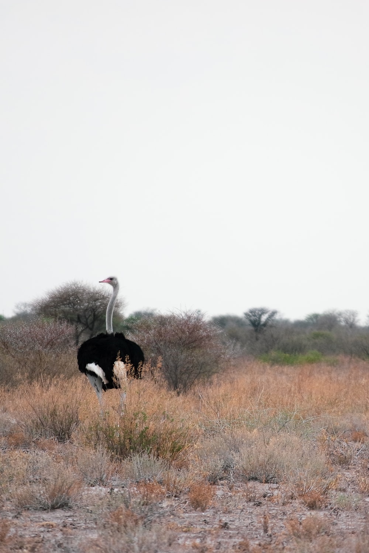 white ostrich on brown grass field during daytime