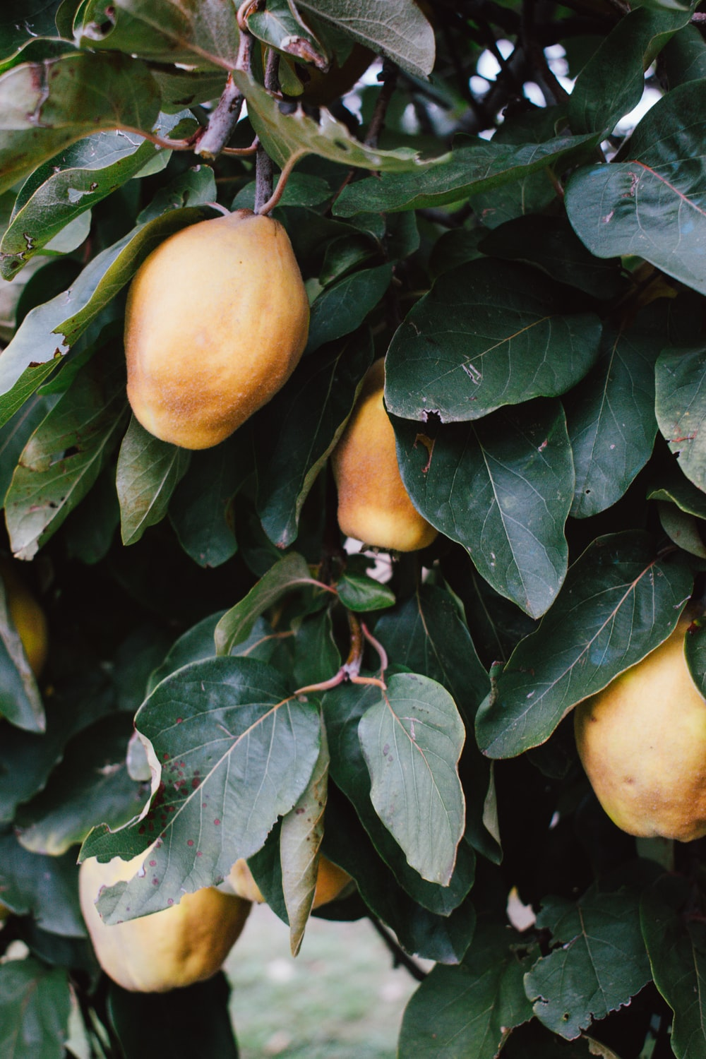 yellow fruit on green leaves