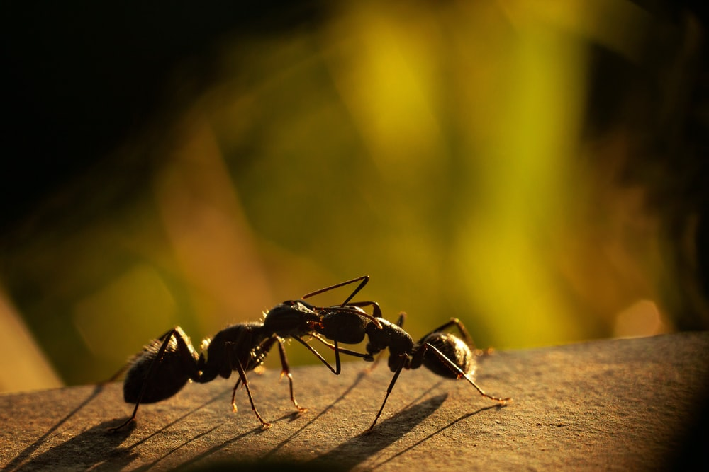 black ant on yellow background