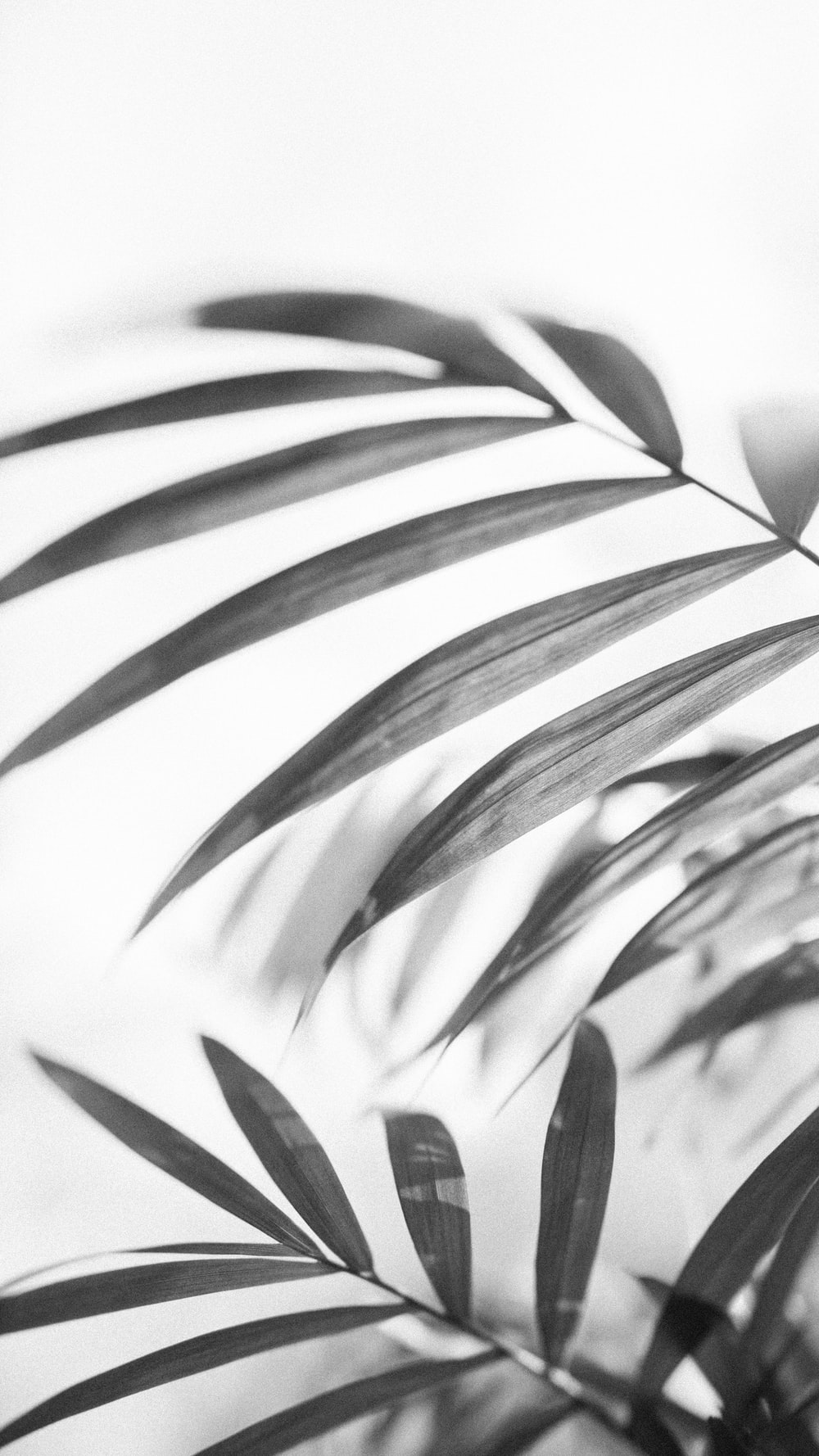 grayscale photo of leaves in white background