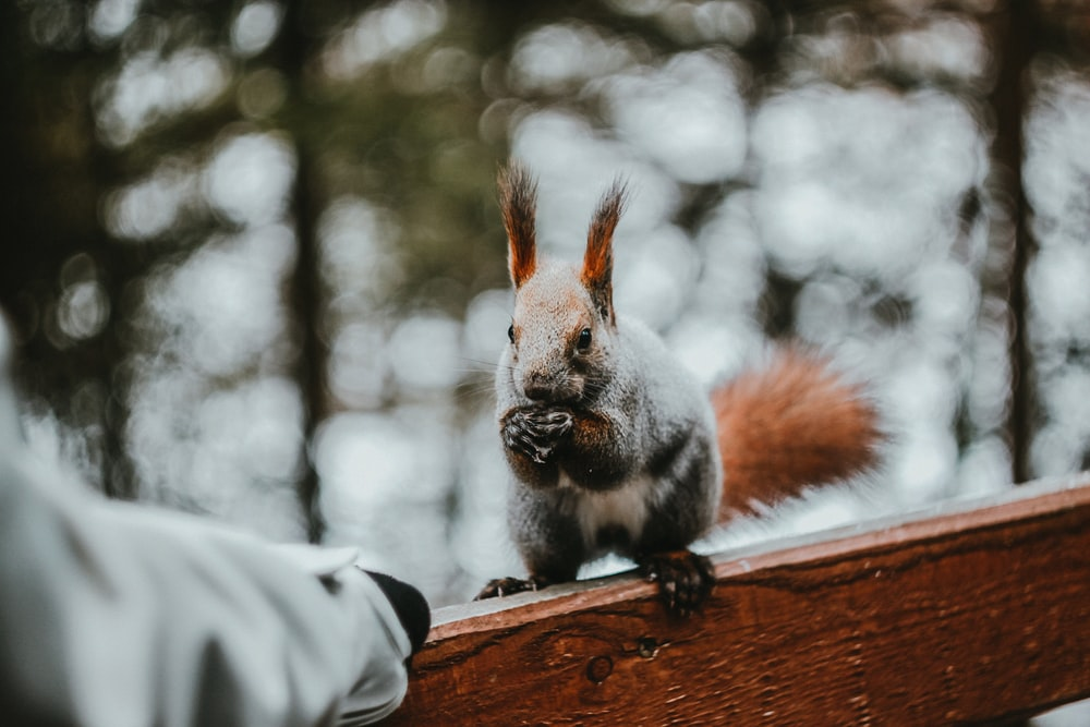 gray squirrel on brown wooden table