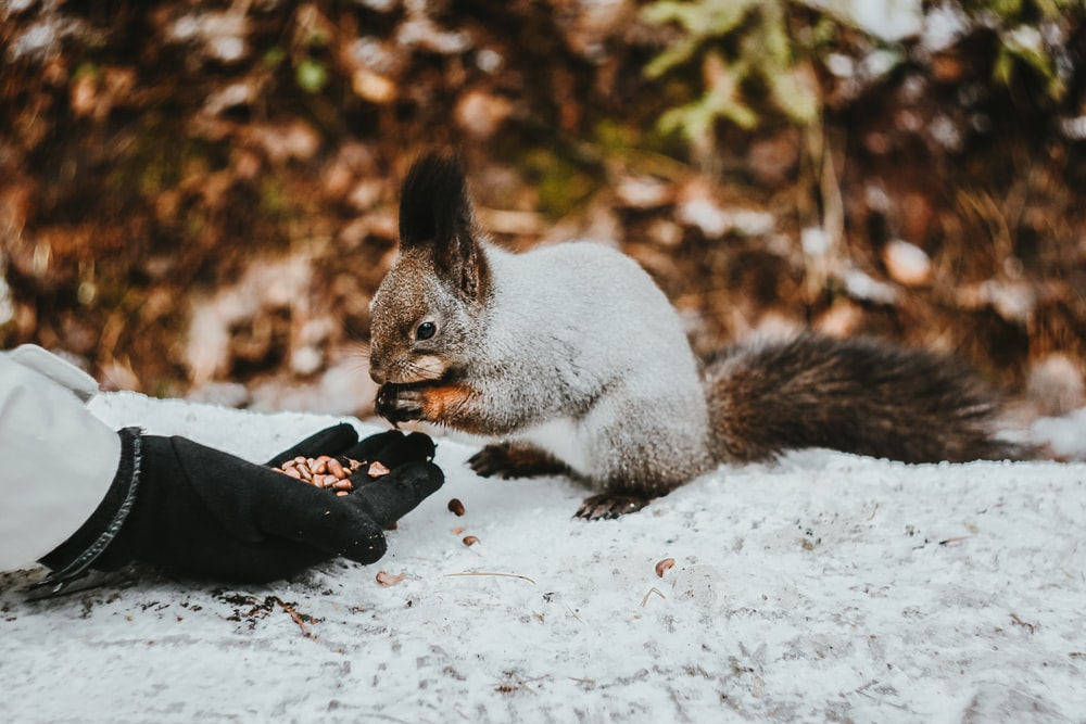 gray squirrel on snow covered ground during daytime