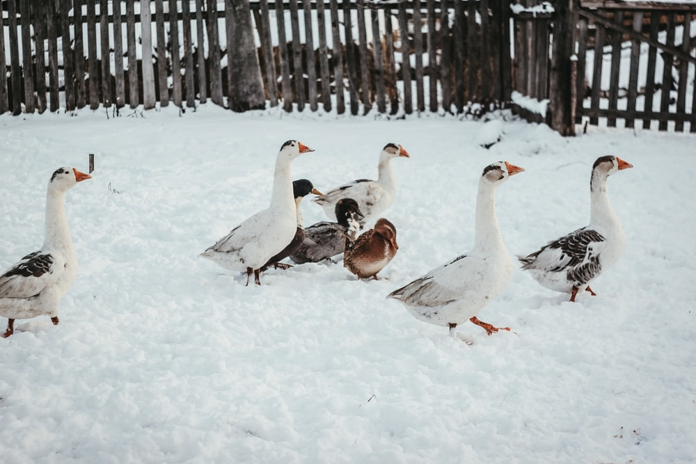 flock of geese on snow covered ground during daytime
