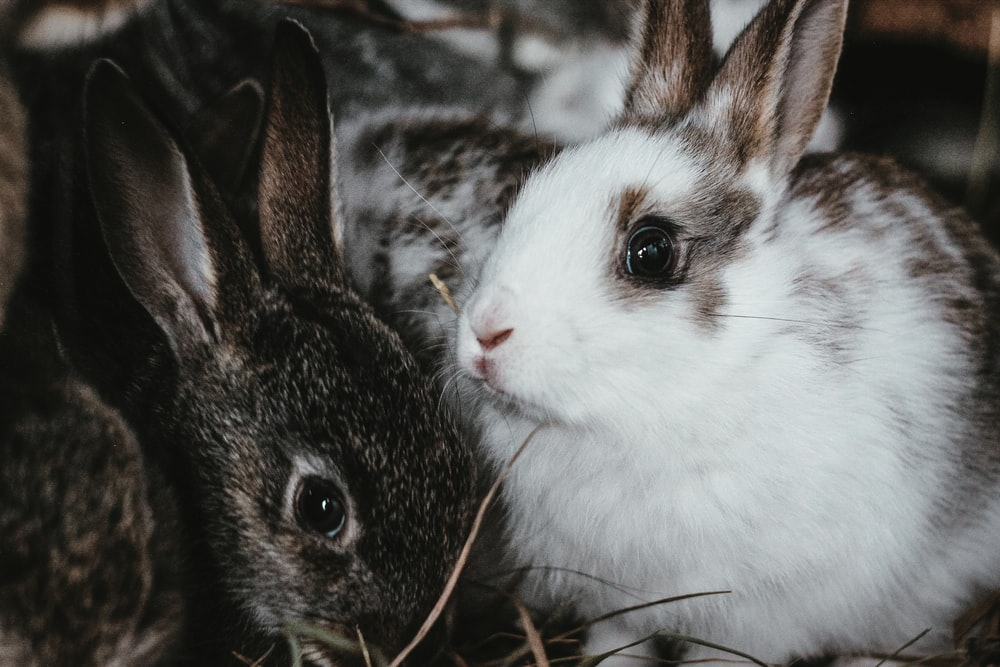 white and black rabbit on brown grass