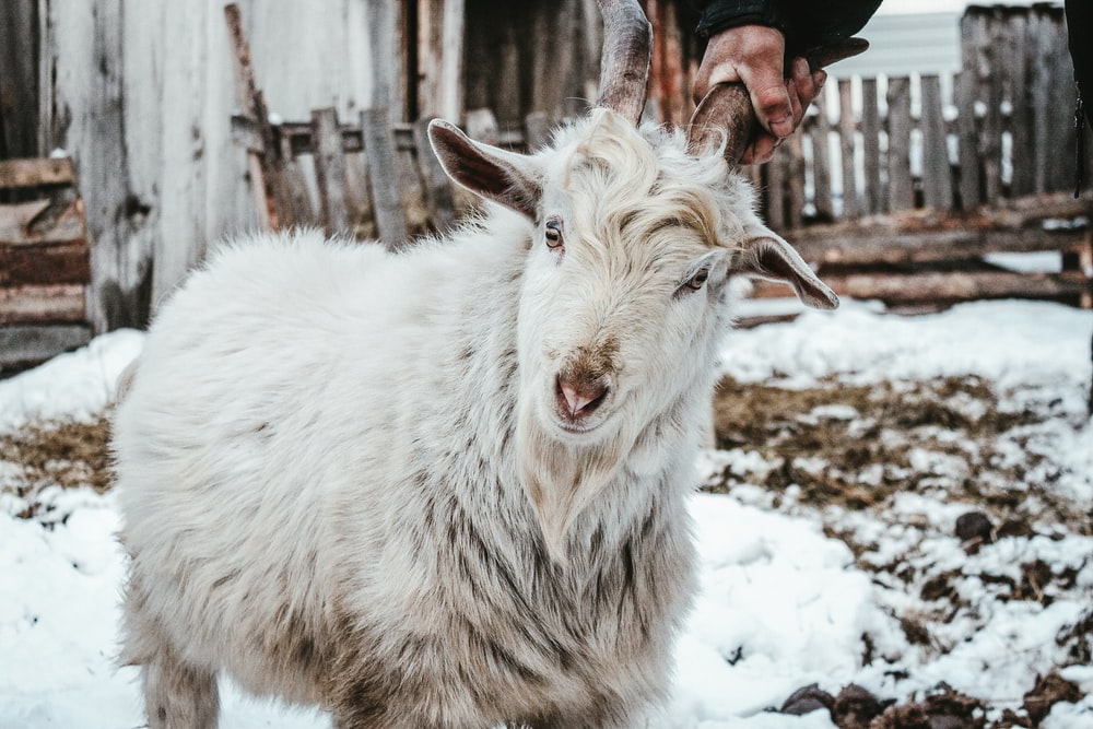 white goat on snow covered ground during daytime