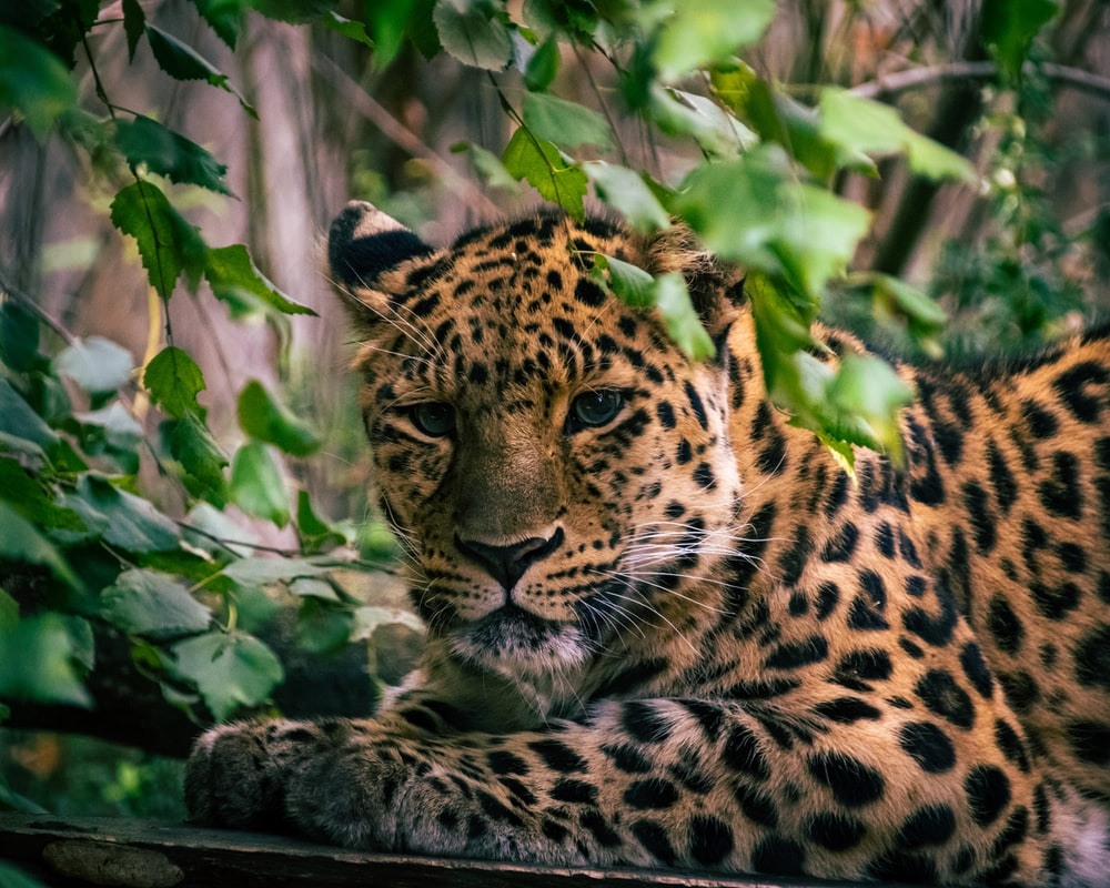 leopard lying on green grass during daytime