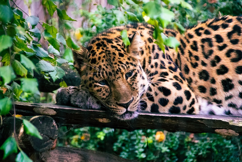 leopard resting on brown wooden fence