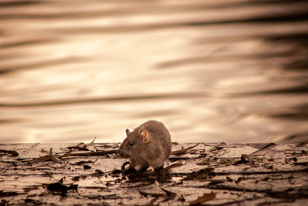 gray mouse on brown soil