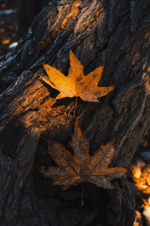 brown maple leaf on brown tree trunk