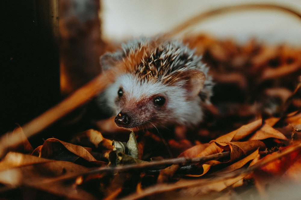 white and brown hedgehog on brown dried leaves
