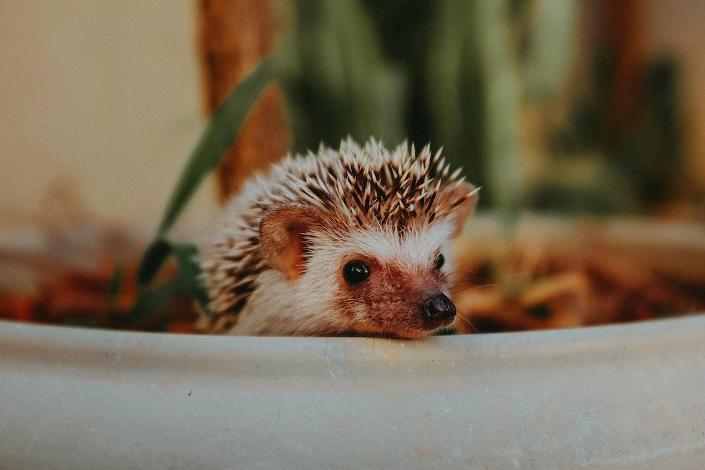 white hedgehog on white ceramic container